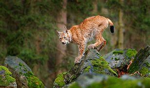 Ryś to największy europejski kot (zdjęcie poglądowe)
