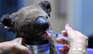 Koala uratowany z pożaru