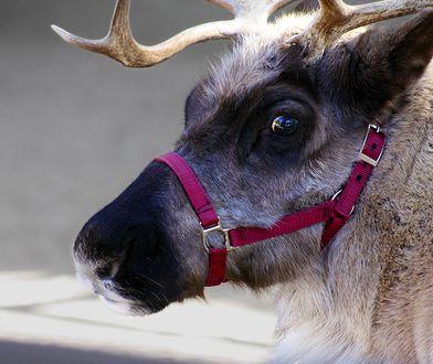 Sympatyczne renifery z zaprzęgu Świętego Mikołaja to część naszej gwiazdkowej tradycji.