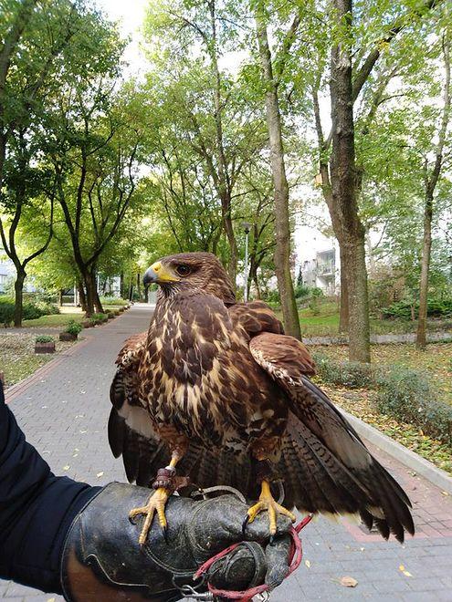 Spółdzielnia ma nadzieję, że jastrząb przegoni inne ptaki z okolicy