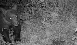 Młody niedźwiedź złapany w fotopułapkę