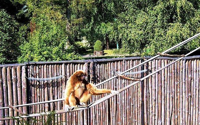 Gibon bujający się na linie w zoo w Zamościu