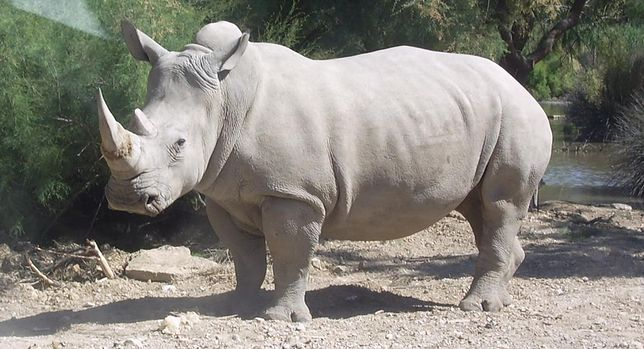 Chiny: Rogi nosorożców i kły tygrysów legalne w medycynie - taką decyzję podjął rząd