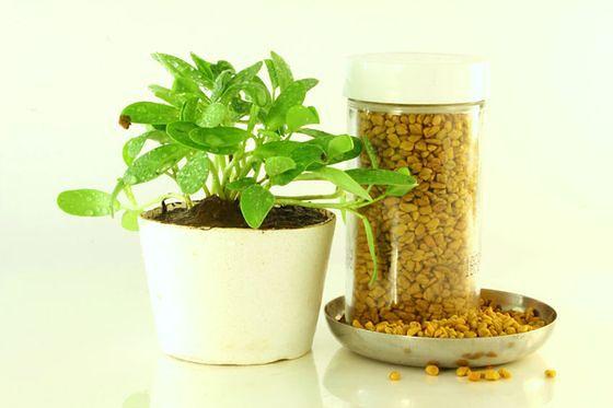 Kozieradka - wykorzystanie w kuchni, specyfika