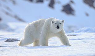 Nietypowa akcja poszukiwawcza w Rosji. Próbują odnaleźć oznakowanego niedźwiedzia