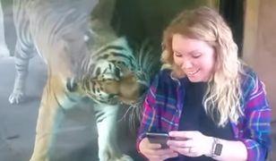 Tygrys i przyszła mama na jednym filmie. Wzruszające zachowanie zwierzęcia