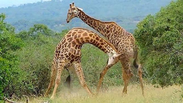 Żyrafy pobiły się z zazdrości o partnerkę. To nagranie jest hitem