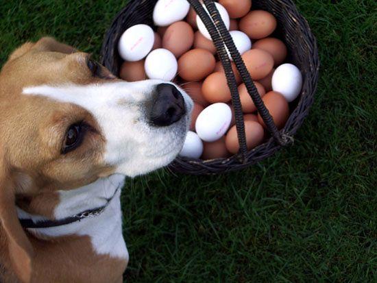 Z jajka ze sklepu nie wylęgnie się kurczak?