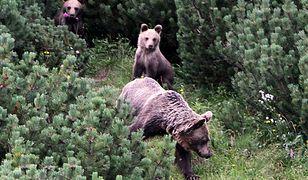 Tatry. Niedźwiedzie podchodzą coraz bliżej osiedli mieszkalnych
