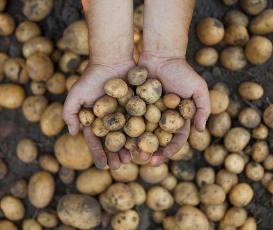 Jak kupić młode ziemniaki i nie dać się oszukać?