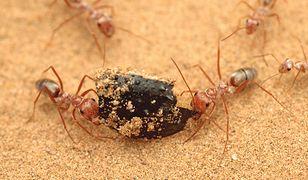 Saharyjskie srebrne mrówki są niesamowicie szybkie
