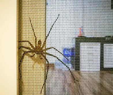 Sezon na pająki rozpoczęty