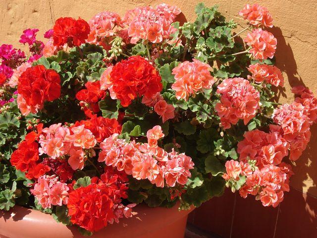Rośliny na balkon: pelargonie