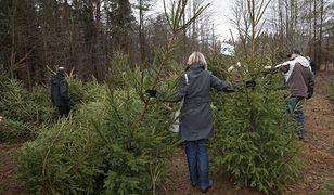 Leśnicy zachęcają do kupowania żywych choinek z plantacji, gdzie można je ściąć osobiście