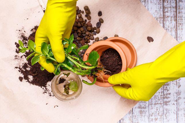 Modne rośliny: żyworódka wraca do łask