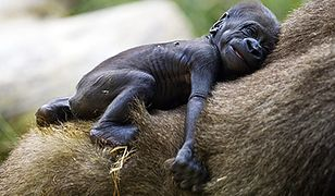 Goryle przyszły na świat w parku safari w Tel Awiwie