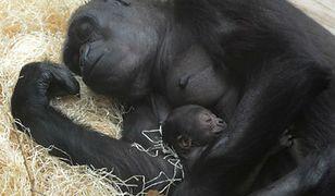 W praskim zoo urodził się goryl