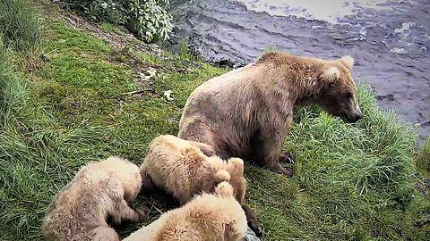 Niedźwiedzie z Alaski w Google Earth: kamery na żywo dostępne na mapie