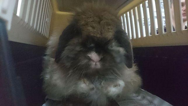 """Mały królik błąkał się po ul. Targowej. """"Był nieco zaniedbany, zarośnięty, zziębnięty"""""""