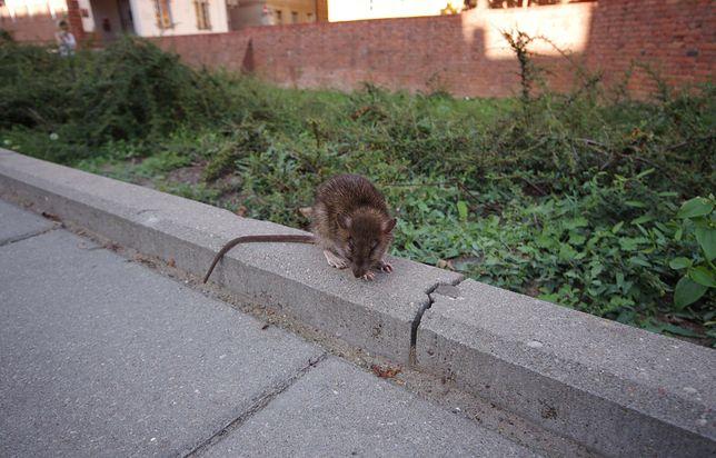 Częstochowa. Szczury to problem miasta
