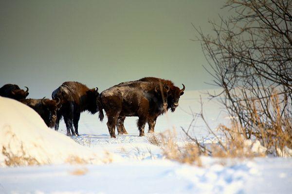 Bieszczadzkie żubry schodzą z gór w doliny, gdzie spędzą zimę