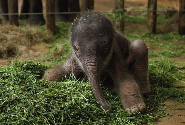 Słoń azjatycki w berlińskim zoo. Gatunek zagrożony wyginięciem.