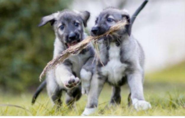 Potwierdzono narodziny psich bliźniąt jednojajowych