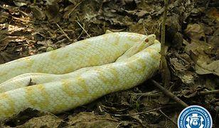 W Warszawie znaleziono węża, ale nie jest to pyton