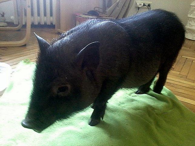 Wietnamska świnka i wąż, czyli jakie zwierzęta można spotkać na ulicach Warszawy