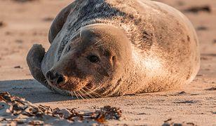 WWF przygotowało petycję w obronie fok. Na plażach więcej Błękitnych Patroli