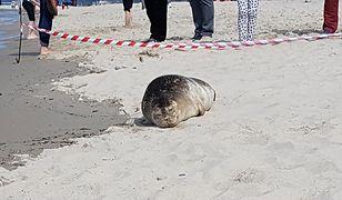 Trzy foki miały zmiażdżone głowy. Są wyniki sekcji zwłok zwierząt z Bałtyku