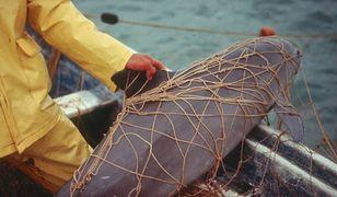 Po fokach - morświn. Zwierzę z rozciętym brzuchem na plaży w Mechelinkach