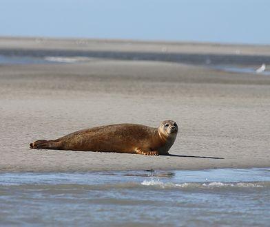 Rosja. Taka foka zdarza się raz na sto tysięcy. Naukowcy robią wszystko, by ją uratować