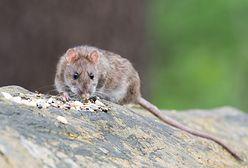 Szczury - widmo. Mieszkańcy alarmują