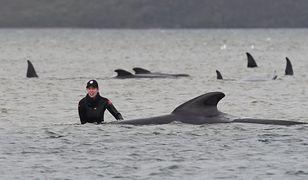 Setki wielorybów przy plaży. Rekord i zagadkowa przyczyna