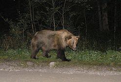 Niedźwiedź w Bieszczadach. Chodzi między domkami letniskowymi. Ostrzeżenie
