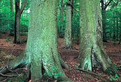 Na liście UNESCO znalazły się bukowe lasy Bieszczad