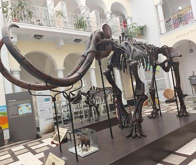 Warszawa. Piękne imię dla mamuta to… Konkurs dla sympatyków eksponatu z Muzeum Geologicznego