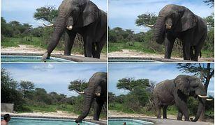 Para kąpała się w swoim basenie, gdy nagle odwiedził ich... słoń. Przyszedł się napić