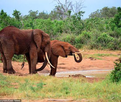 """Afrykański kraj przywraca polowania na słonie. """"Będziemy to kontrolować"""""""