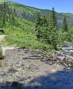 Tatry. Niedźwiedź zażywa kąpieli w potoku w Dolinie Chochołowskiej