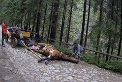 Okropne sceny w Dolinie Chochołowskiej. Koń padł, a dorożkarz zaprzęgł go z powrotem do powozu i kontynuował kurs