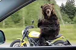 #dziejesiewmoto [150]: niedźwiedź na motocyklu, wypadek na Nurburgringu i szybka motorówka