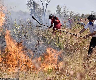 #UgaśmyPłucaŚwiata. Amazonia. Prezydent Evo Morales pomaga strażakom gasić pożar w pobliżu Charagua w Boliwii