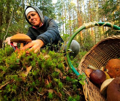 Zbieranie grzybów a mandaty. Za co grożą nam kary finansowe?