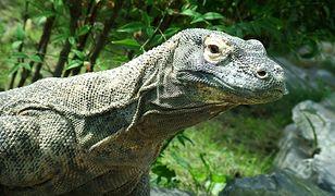 Waran z Komodo - jedno z najniebezpieczniejszych zwierząt na świecie