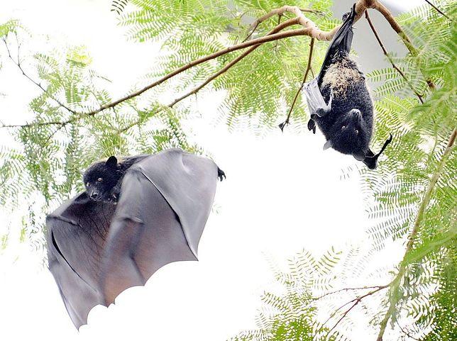 Nietoperze są źródłem wielu wirusów zdolnych przeskakiwać na ludzi.