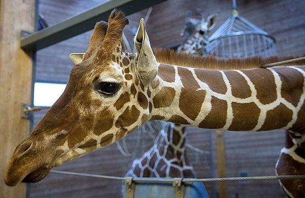 Żyrafa Marius, którą zastrzelono w zoo w Kopenhadze