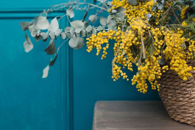 Charakterystyczne kwiaty mimozy zachwycają swoją intensywną barwą