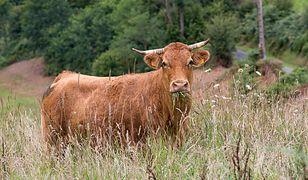 Krowa była nieuchwytna przez trzy tygodnie